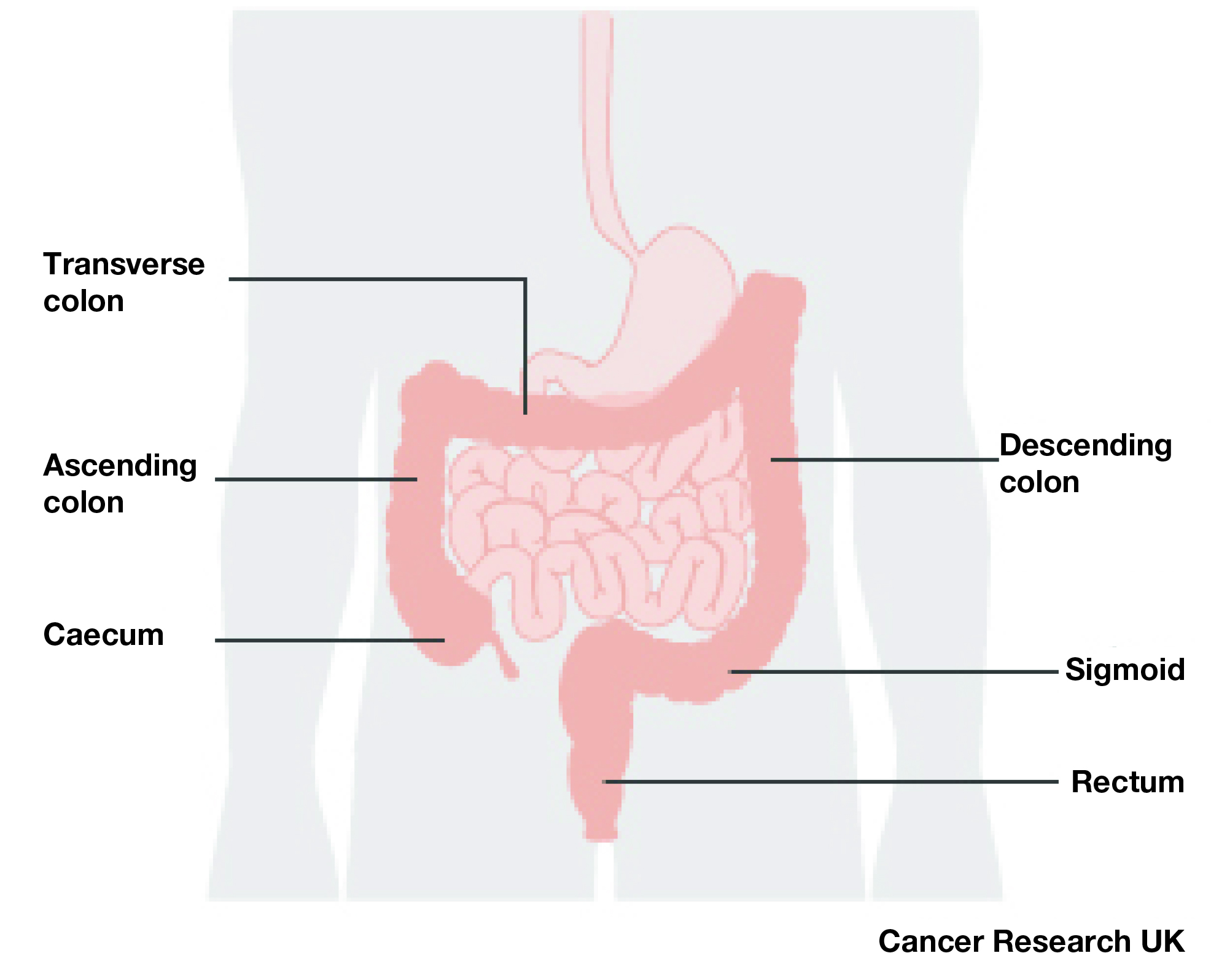 The bowel- also known as the colon